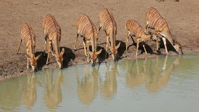 Nyala antelopes drinking stock video