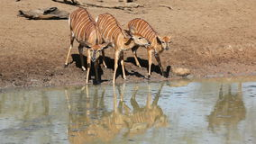 Nyala antelopes drinking stock video footage