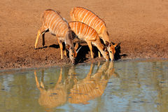 Nyala antelopes drinking Stock Images