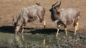 Nyala antelopes drinking stock footage