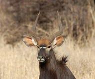 Nyala-Antilope stockbild