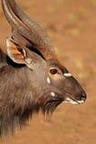 Nyala antylopy portret Zdjęcie Royalty Free