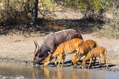 Nyala At Waterhole Stock Photography