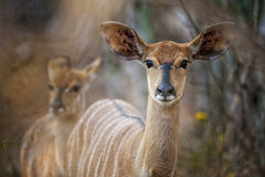 Nyala buckin Zuid-Afrika Royalty-vrije Stock Foto