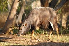 Nyala Bull Stock Images