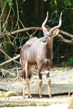 Nyala Bull Stock Photography