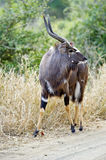 Nyala Bull Royalty Free Stock Images