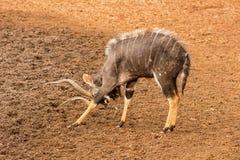 Nyala Bull Antelope Royalty Free Stock Photo