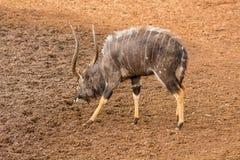 Nyala Bull Antelope. Nyala bull at a watering hole in Southern Africa Royalty Free Stock Photo