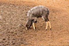 Nyala Bull Antelope. Nyala bull at a watering hole in Southern Africa Royalty Free Stock Photography