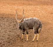 Nyala Bull Antelope. Nyala bull at a watering hole in Southern Africa Stock Image