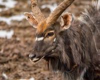 Nyala Bull Antelope. Nyala bull at a watering hole in Southern Africa Stock Images