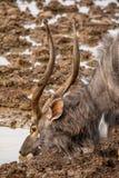 Nyala Bull Antelope. Nyala bull at a watering hole in Southern Africa Stock Photo