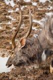 Nyala Bull Antelope. Nyala bull at a watering hole in Southern Africa Royalty Free Stock Photos