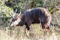 Nyala Bull Royalty Free Stock Photography