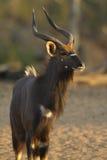 Nyala Bull Stock Photo