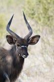 Nyala Bull Royalty Free Stock Photos