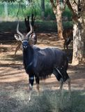 A Nyala bull standing with some ewes stock photography