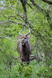 Nyala in the cover of the bush Royalty Free Stock Image