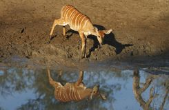 Nyala Cow Royalty Free Stock Images