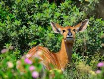 Nyala dans une réservation sud-africaine Images stock