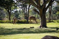 Nyala de plaine sur le champ d'herbe Photographie stock