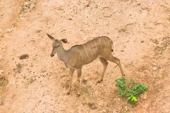 Nyala Deer from Top View Royalty Free Stock Images