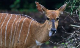 Nyala Doe. A nyala doe sticks out her black tongue in anticipation of a leafy snack royalty free stock photo