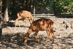 Nyala Royalty Free Stock Photos