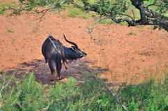 Nyala em um sul - reserva africana Fotos de Stock Royalty Free