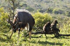 Nyala et babouins Images libres de droits