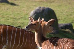 Nyala ewe antelopes. A pair of african Nyala ewe antelopes Royalty Free Stock Image