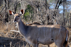 Nyala female Royalty Free Stock Photos