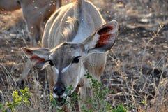 Nyala female eating leaves Stock Photos