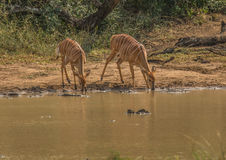 Nyala female prepare to drink from a waterhole at the Hluhluwe iMfolozi Park royalty free stock image