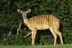 Nyala female, South Africa Royalty Free Stock Photos