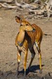 Nyala female royalty free stock image
