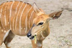 Nyala femelle Images stock