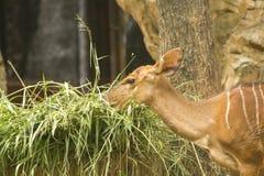 Nyala femminile nello zoo fotografia stock libera da diritti