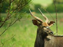 Nyala with Flies Royalty Free Stock Photography