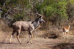 Nyala and Grant's antelope walking in the bushes Stock Photos