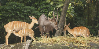 Nyala Royalty Free Stock Images