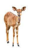 Nyala isolated on white background Stock Photos