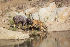 Nyala  in Kruger National park, South Africa. Nyala couple drinking in waterhole in Kruger National park, South Africa ; Specie Tragelaphus angasii family of royalty free stock photo