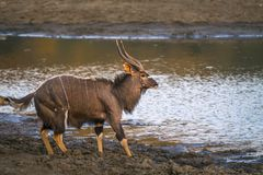 Nyala in Kruger National park, South Africa. Specie Tragelaphus angasii family of Bovidae stock photography