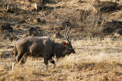 Nyala in Kruger National park Royalty Free Stock Photos