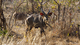 Nyala in Kruger National park Royalty Free Stock Image