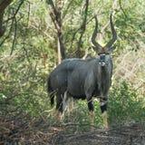 Nyala in Kruger National park Stock Images