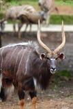 Nyala mâle Photo stock