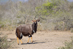 nyala mâle Photographie stock libre de droits
